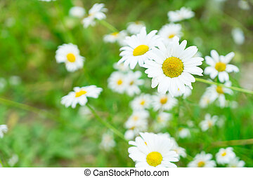 Jasmine flowers on wooden table - Daisy fresh blooming...