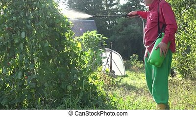 male farmer spray green bean plant in country garden sunset....