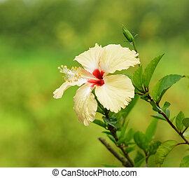 Shoe Flower carpel Hibiscus syriacus