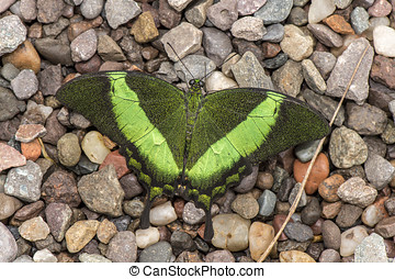 Emerald Swallowtail Butterfly on pebbles
