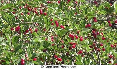 Cherry in summer garden