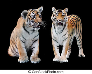 two Amur of tiger on a black background