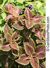 Coleus leaf in the tropics garden.