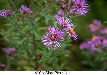 New England Aster - Purple wild flowers New England Aster...