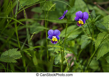 Viola tricolor - Pansy flowers Viola tricolor in Ontario...