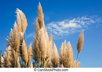 Pampas grass in a blue sky background