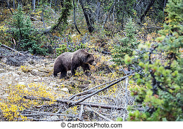 Large bear in autumn forest