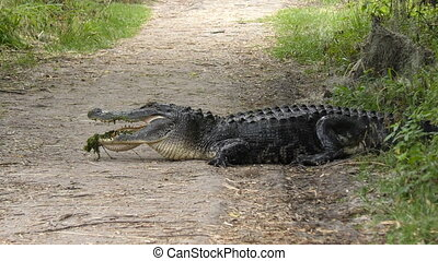 Alligator on a Trail - American Alligator on a Trail