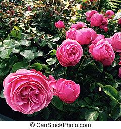 bello, anticaglia, rose, giardino, estate