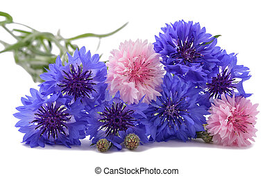 Cornflowers - Blue and pink Cornflowers isolated on white