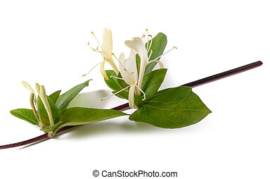 honeysuckle branch isolated - honeysuckle Sprig with flowers...