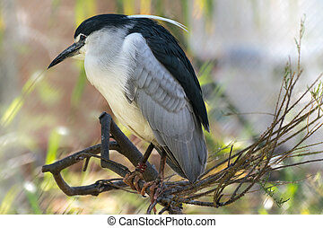 Black-crowned night heron Nycticorax nycticorax - Portrait...