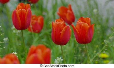 tulip red flowers field landscape video 4k