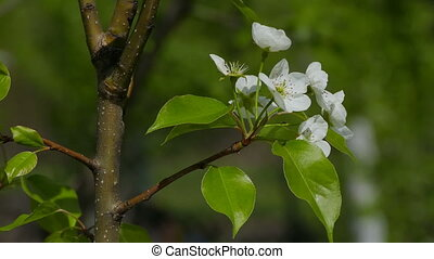 pear blossom branch spring flower in the garden tree video...