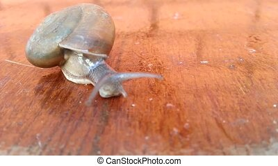 Snail on wood floor, Macro