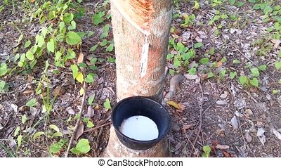 Hevea brasiliensis and latex in Thailand