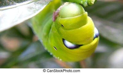 Moth larvae or Caterpillars breathe, Macro