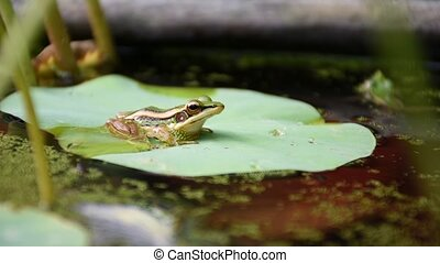 Frog (Green Frog) on a lotus leaf in a nature water