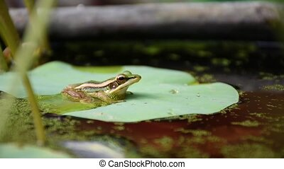 Frog (Green Frog) on a lotus leaf