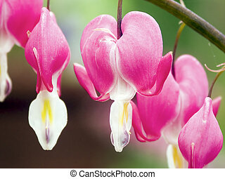 Bleeding Heart Flowers - Reddish pink bleeding heart flowers...
