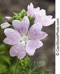 Musk Mallow Flowers - Purplish-pink musk mallow flowers...