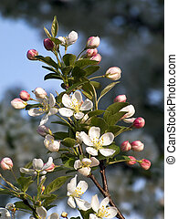 Crab Apple Blossoms - Crab apple tree blossoms with pink...