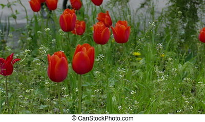 red tulip flowers field landscape video 4k