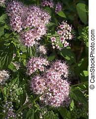 Spirea Spiraea japonica Flowers - Cherry Pink blossoms on a...