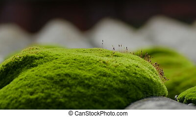 old green moss close up