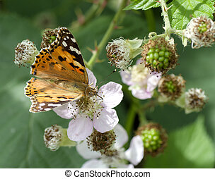 Lepidoptera of small tortoise shell butterfly (Latin name -...