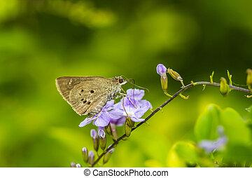 borbo cinnara Hesperiidae Butterfly 0n flower