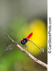 Resting blue dragonfly