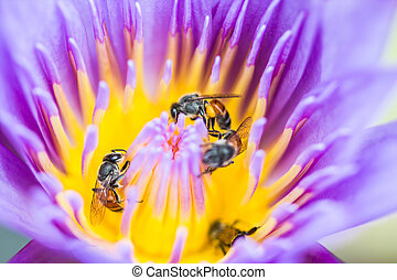 little bee on lotus flower