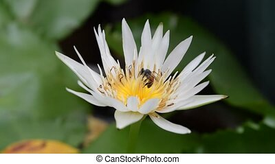 Lotus Flower with bee - Beautiful Lotus Flower with bee,...