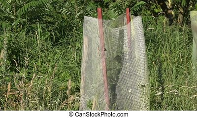 trees saplings protected with net from wild animals grow in...