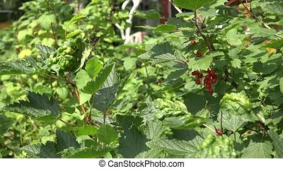 Red and black currant berries on bush in summer garden 4K -...