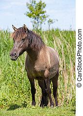 wild Konik horse in an open field