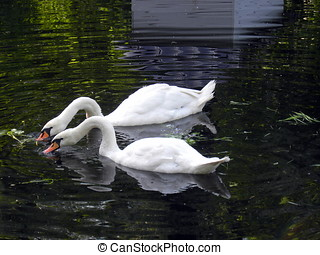 Two mute swans - Russia, Moscow Animals in Big city City...
