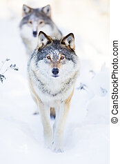Two wolves in cold winter landscape - Wolf pack walking in...
