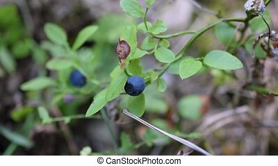 Male hands collecting bilberry - Male hands collecting blue...