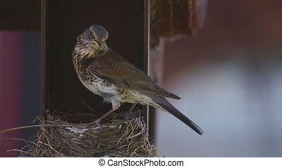 Female Fieldfare on the nest - Fieldfare Thrush female on...