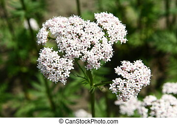 Valerian flowers blooming in a garden