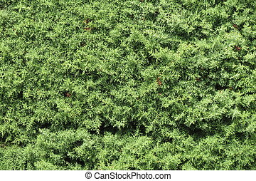 Cypress tree background - Cypress Cupressus sempervirens...