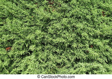 Cypress tree background - Cypress (Cupressus sempervirens)...