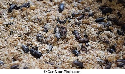 Mealworm bug insect is a food for bird and fish