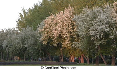 Blossom of apple trees in the park