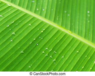 Banana leaf - Macro of a banana leaf with fresh rain drops...