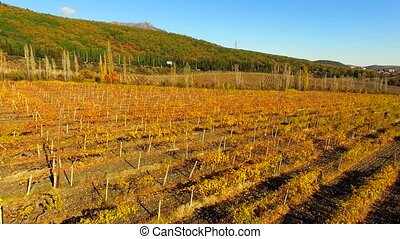 AERIAL VIEW Flight Over Vineyards At Bright Autumn Day -...