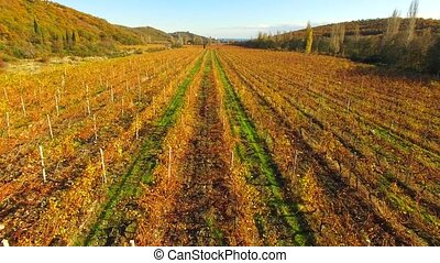 AERIAL VIEW. Yellow Vineyards Rows At Autumn - AERIAL VIEW....