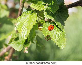 Red ladybug on a leaf currants